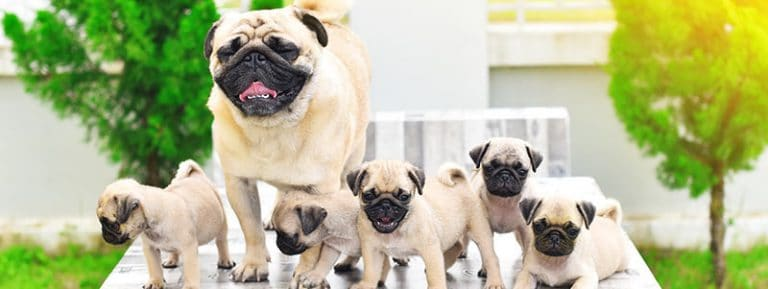 what are pug puppies like