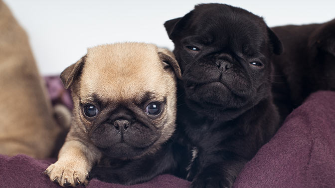 are Pugs better in pairs