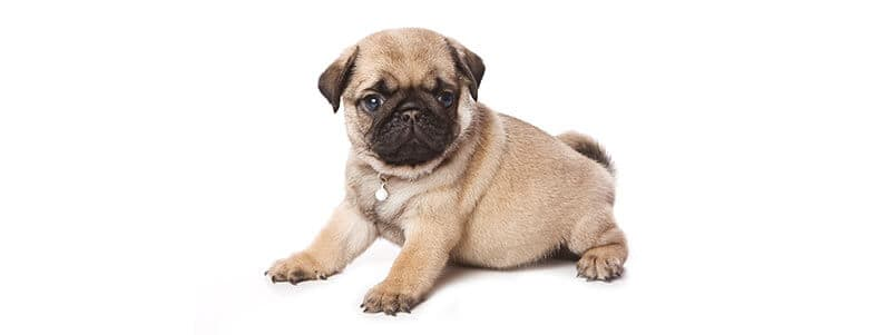 are Pugs hard to potty train