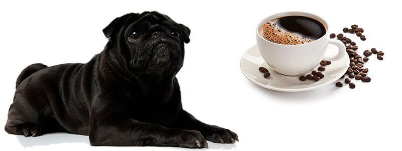 can Pugs drink coffee