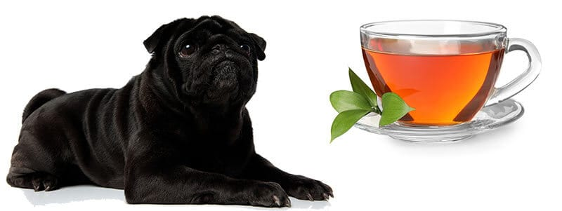 can pugs drink tea