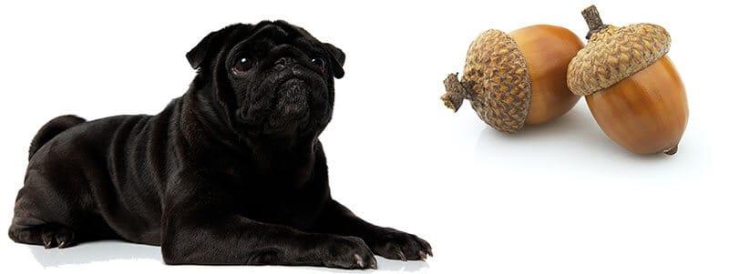 can pugs eat acorns