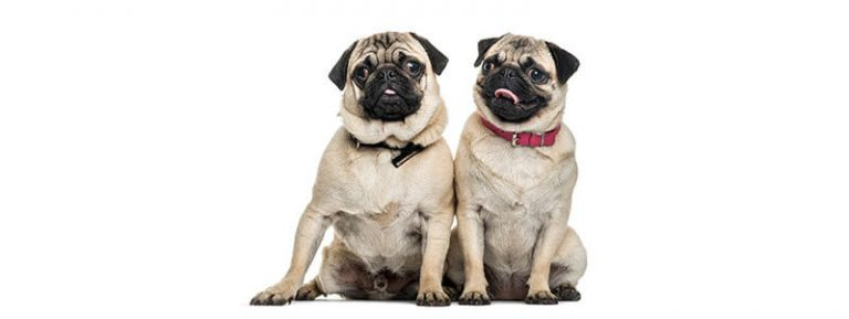 do Pugs get along with other Pugs