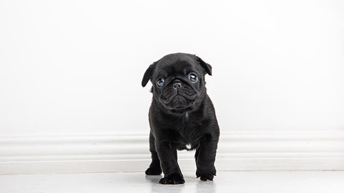 give your Pug puppy several potty breaks
