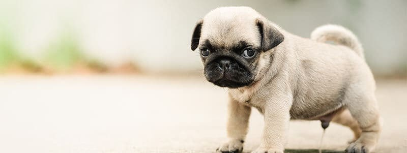 how to potty train a pug indoors