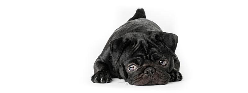 how to potty train a stubborn Pug