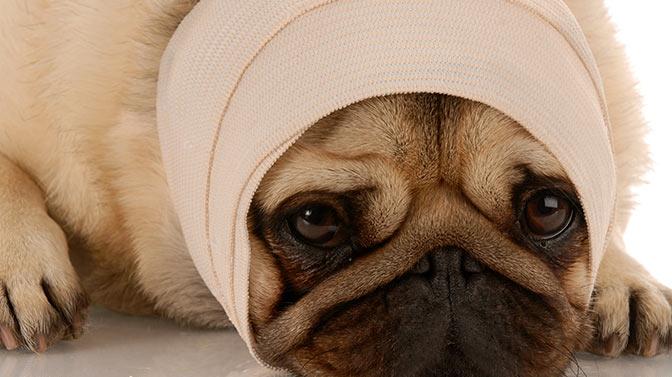 injured Pug
