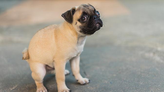 potty training a pug puppy