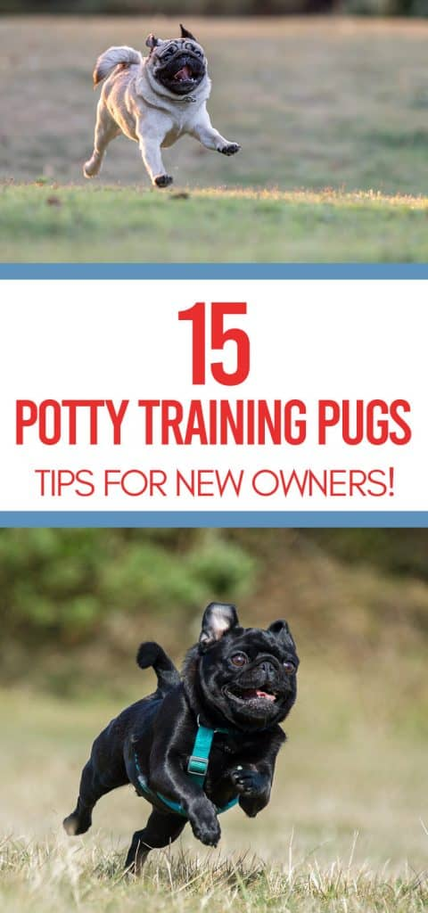 potty training pugs