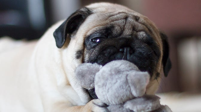 Pug chewing on toy