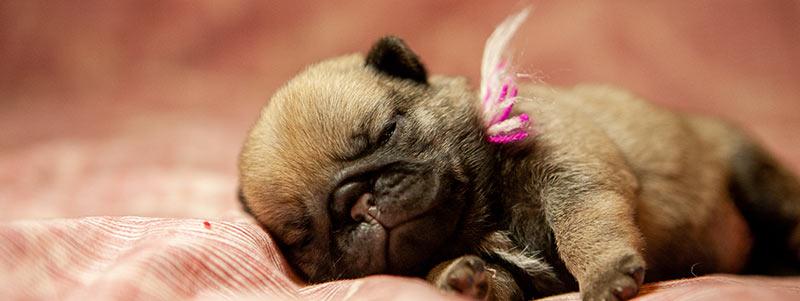 pug puppy potty training schedule