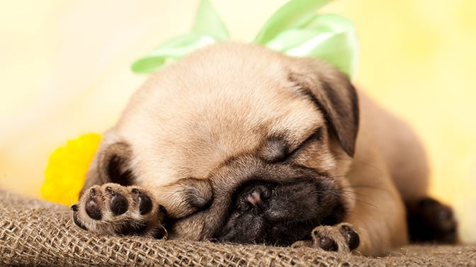 pug sleeping without a crate