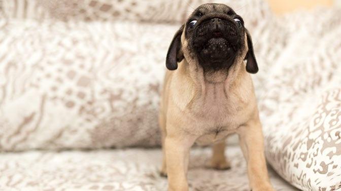 toilet training a pug puppy