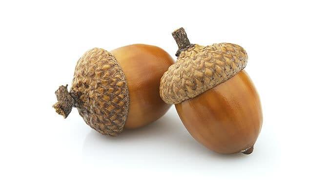 what are acorns
