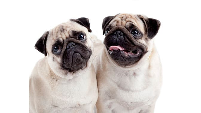 will two female Pugs get along
