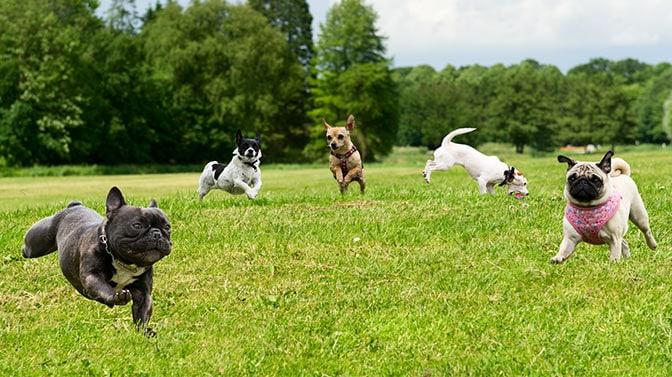 are Pugs good running dogs