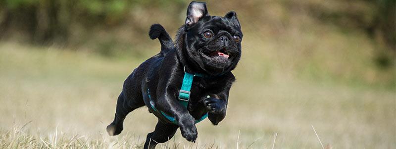 how fast can a pug run