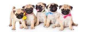potty training pug puppies