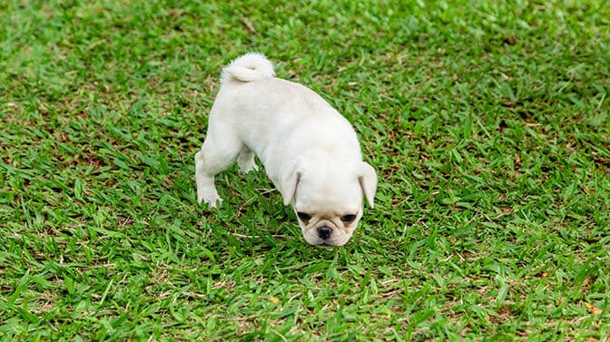 why do Pugs poop in the same spot