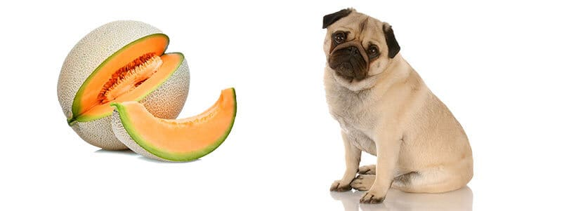 can Pugs eat cantaloupe