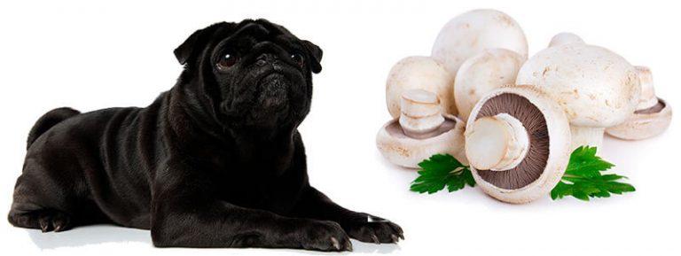 can pugs eat mushrooms