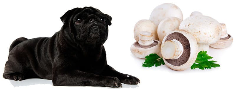 can pugs eat mushrooms