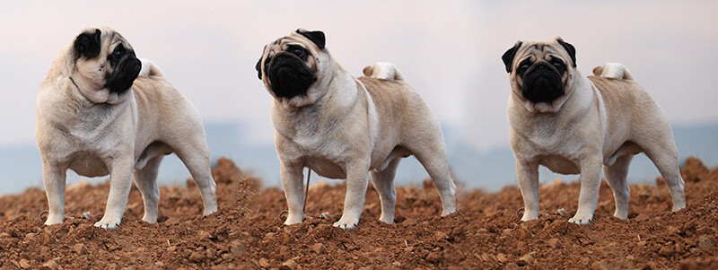 how to tell if your Pug is full breed