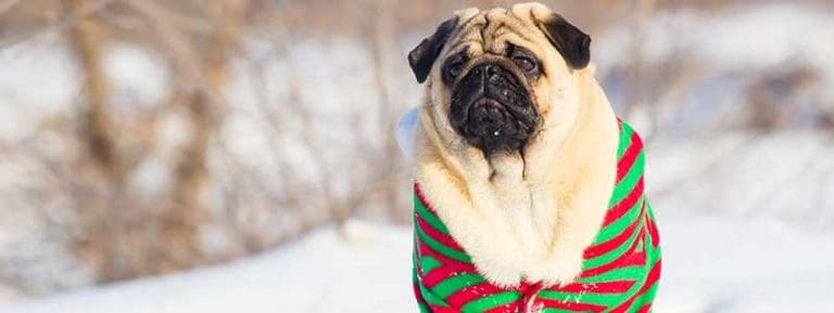 potty training a Pug in the winter