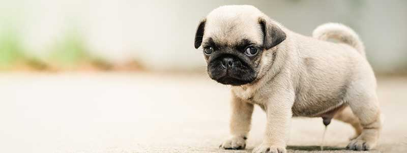 how to train a pug puppy to pee outside