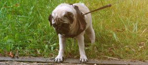 how to train a pug to walk on a leash
