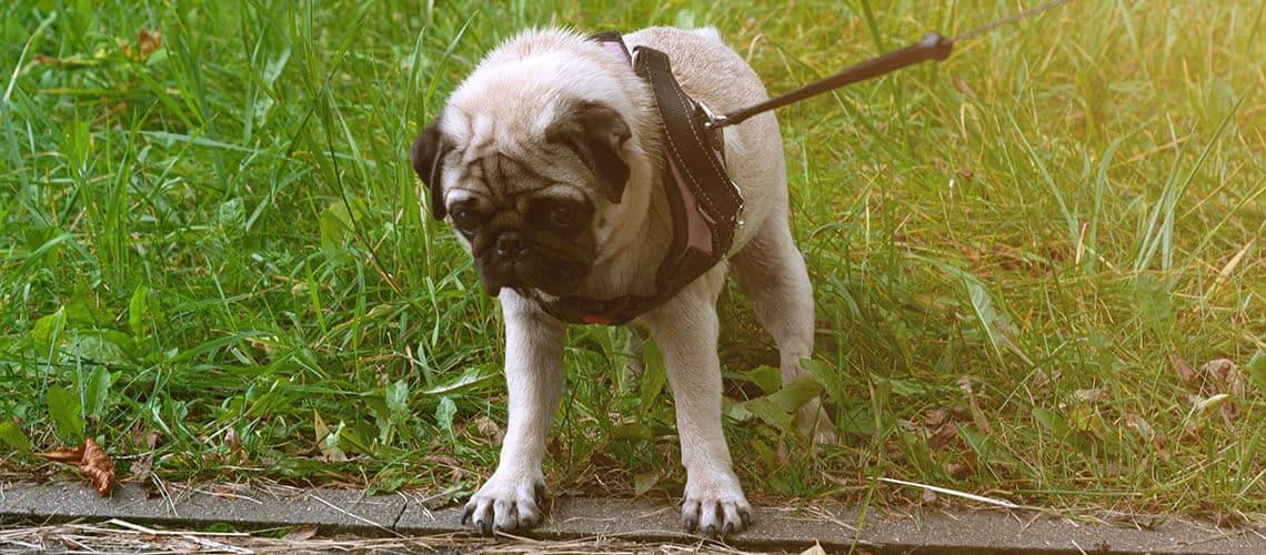 how to train a pug to walk on a leash