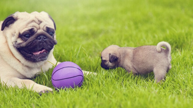 what do pugs like to play with