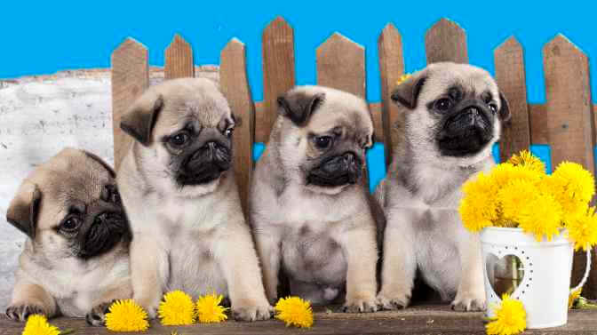 what should I look for when buying a Pug puppy