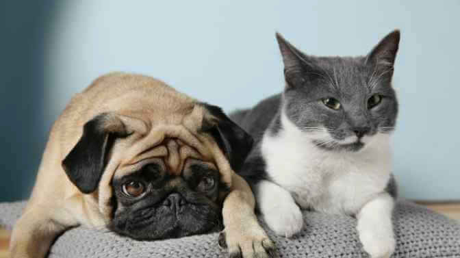 can Pugs be allergic to cats