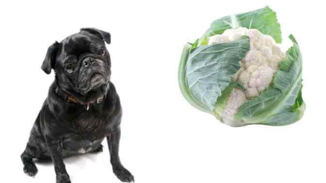 can Pugs eat cauliflower