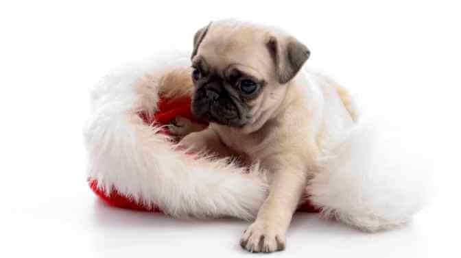 Christmas dog names for Pugs
