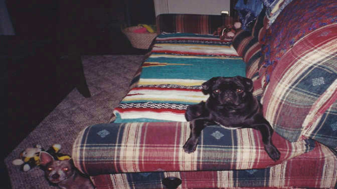 Pug acting like a cat