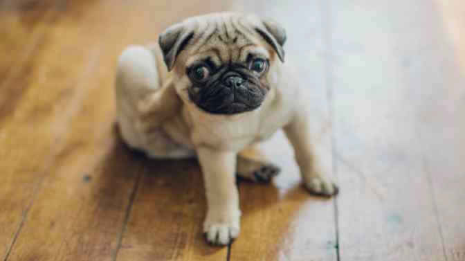 Pug dry skin remedies