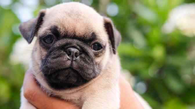 pug names that start with I