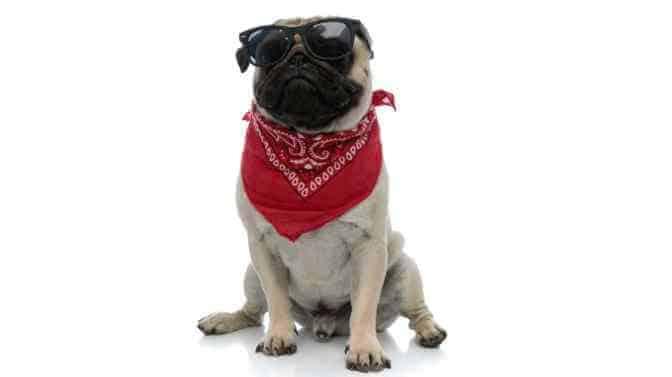 tough gangster pug Names