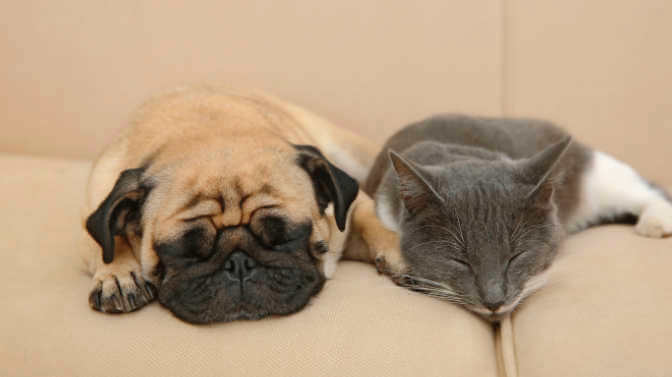 why do pugs act like cats