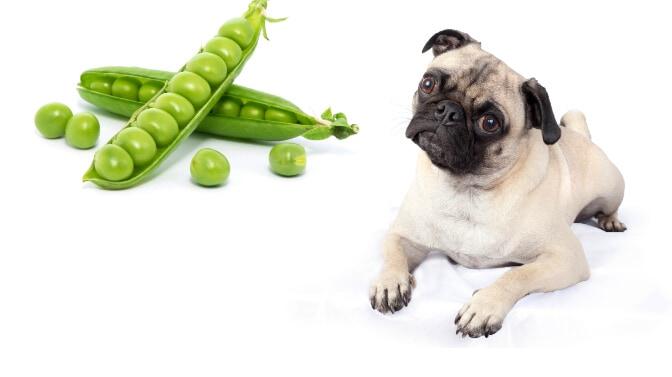 can pugs eat peas