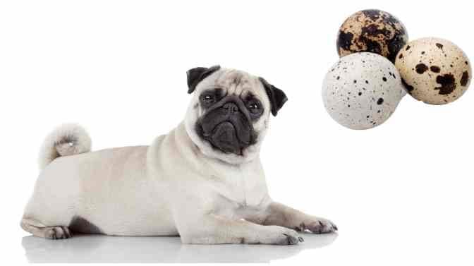 can pugs eat quail eggs