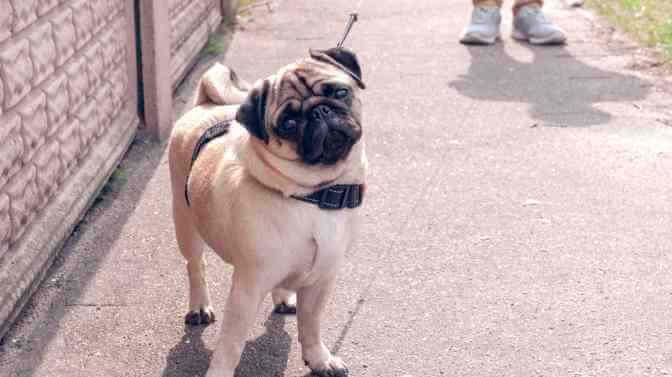 how long should you walk a Pug puppy