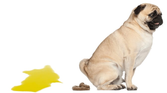 how often do pug puppies poop and pee