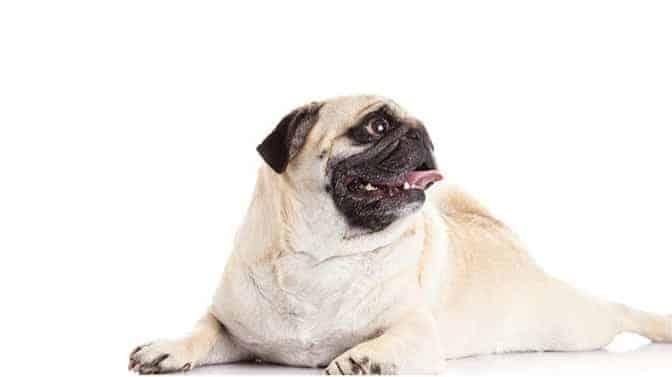 pug breathing problems