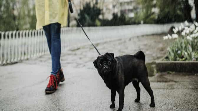 Pug refuses to walk in the rain