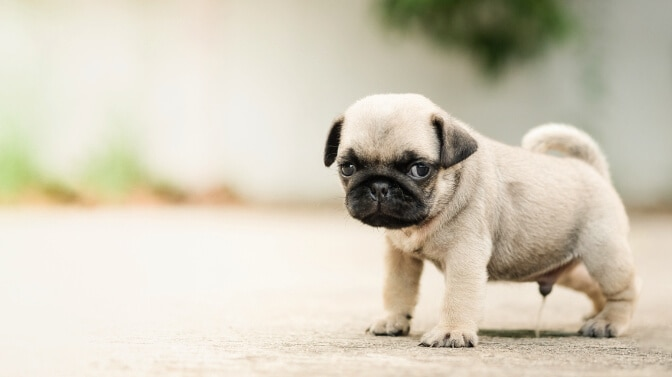 signs your Pug puppy needs to go potty
