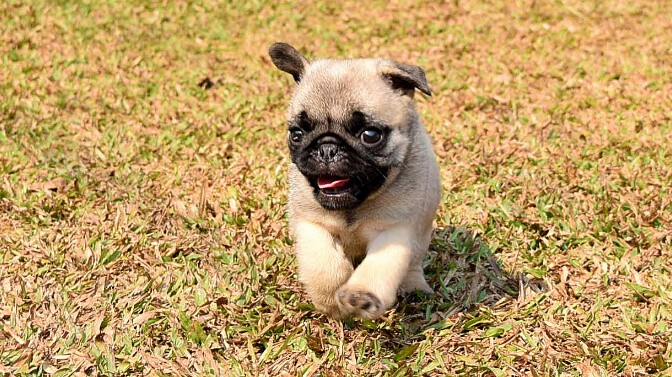 walking a Pug puppy for the first time