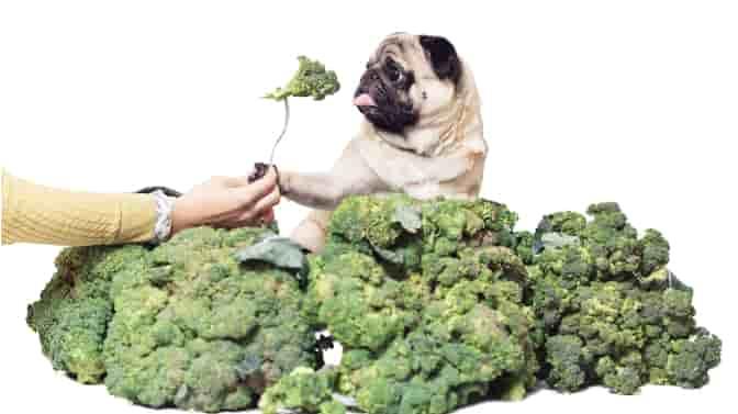 can Pugs be vegetarian